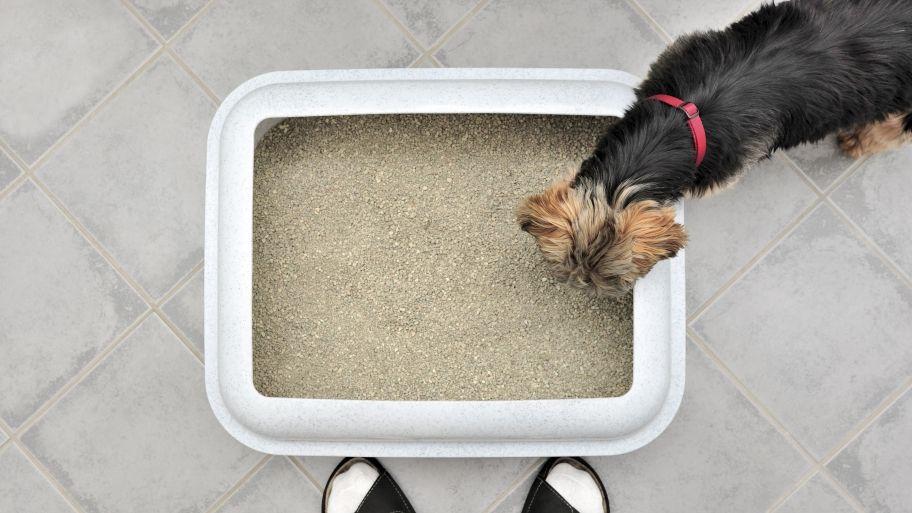 How To Litter Box Train A Dog Dog Litter Box Litter Box Puppy