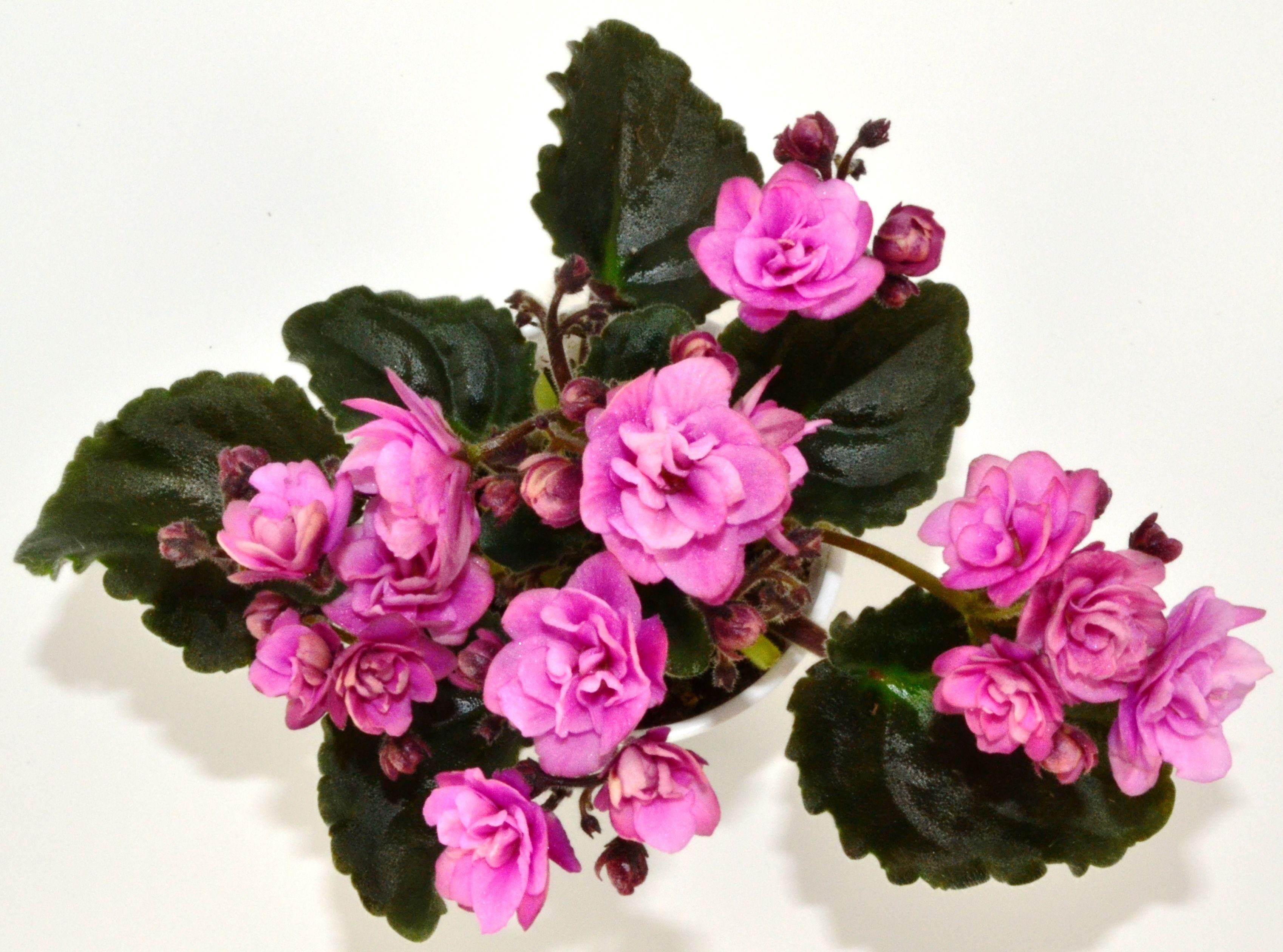 Kentucky Berrybush Semi Miniature African Violet Plant
