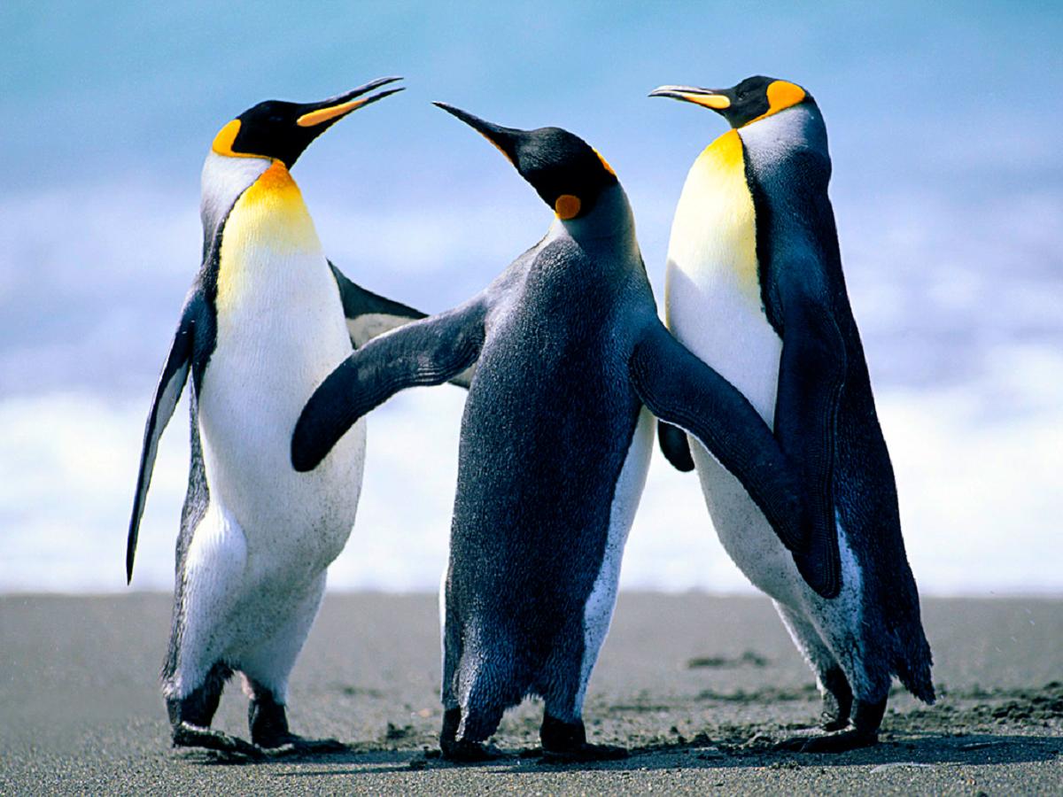 Kolme pingviini herrasmiestä.
