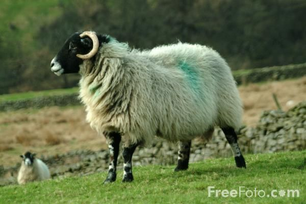 Picture of Sheep, Yorkshire Dales