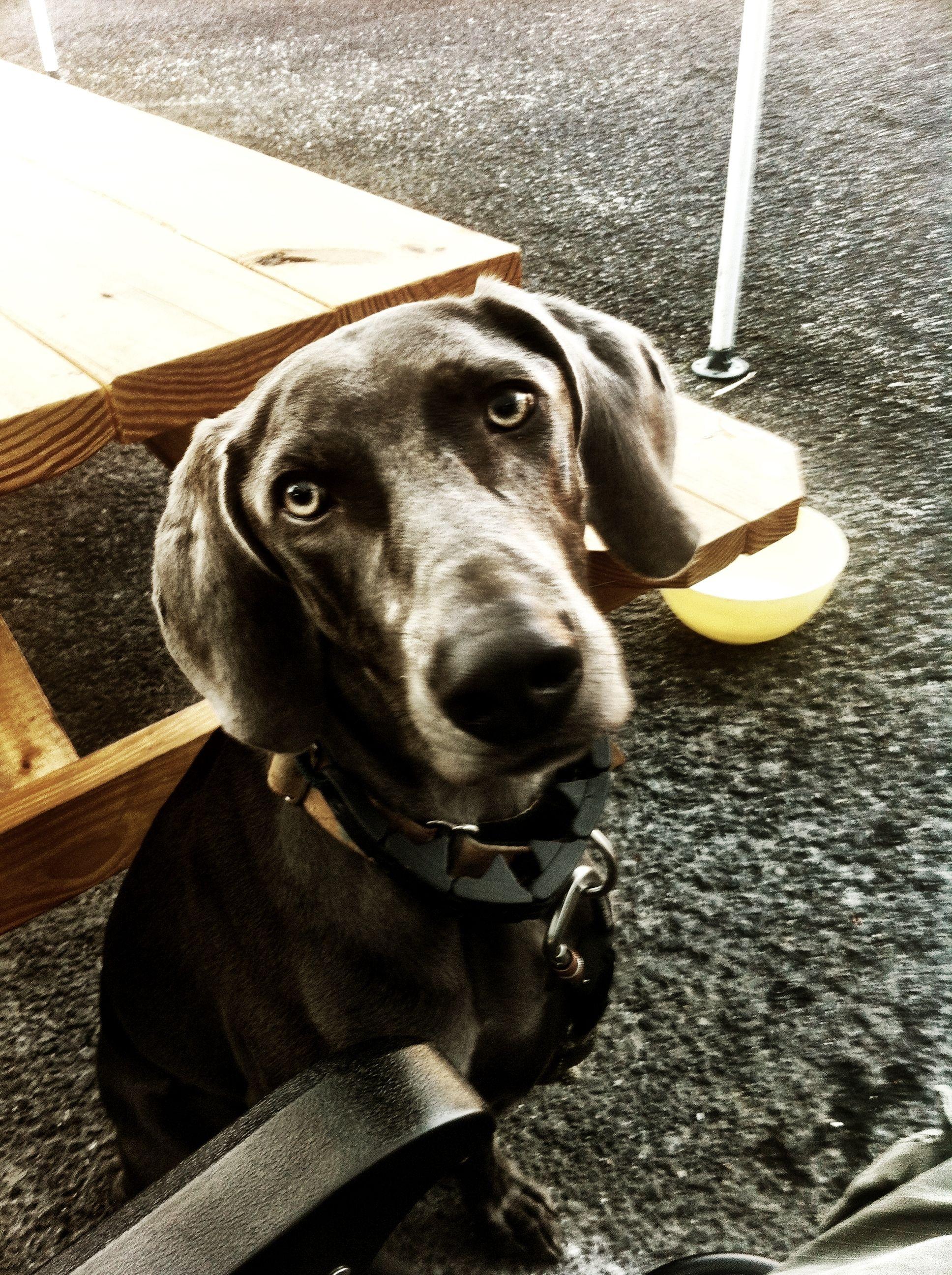 New Blue Weim family member Indy! Dog lovers, Weimaraner