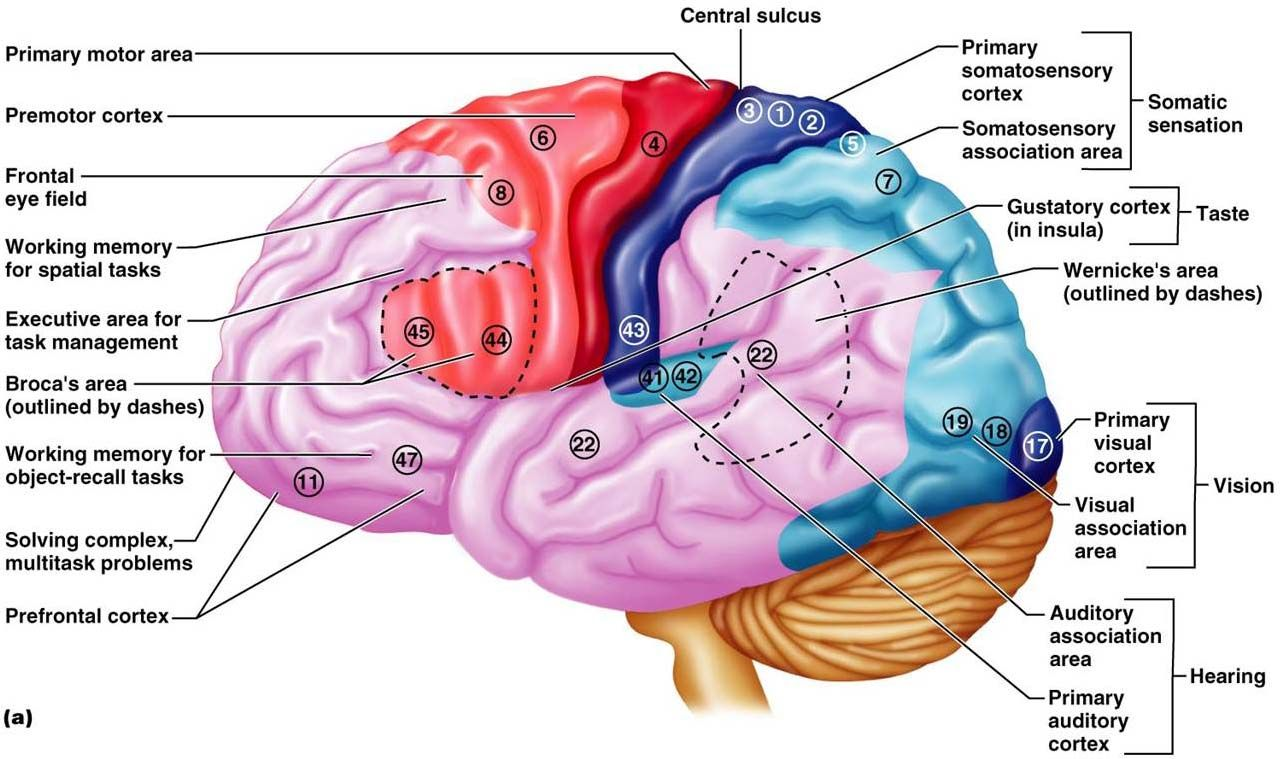 The Cerebrum Meee Pinterest Brain Diagram Brain Parts And