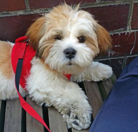 Tashi The Lhasa Apso Lhasa Apso Cute Puppy Names Puppy Pictures