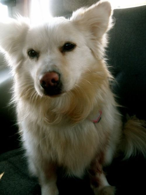 American Eskimo Dog And Corgi Mix