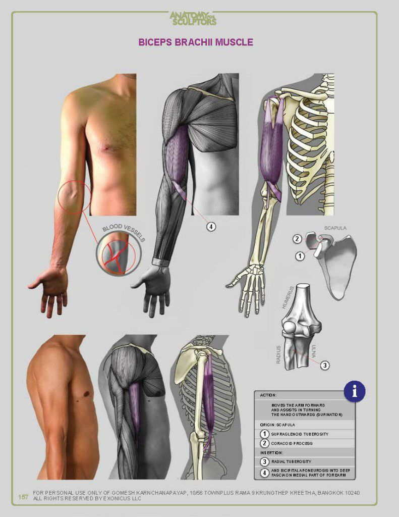 Pin de Manolmedo en Anatomía   Pinterest   Anatomía
