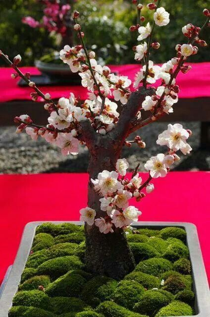 Bonsai Cherry Blossom trees