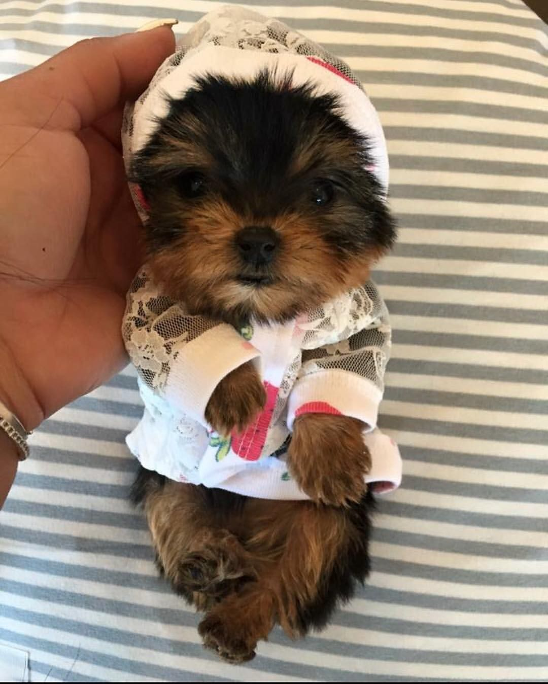 New Litter Teacup Baby Doll Face Yorkie Puppies Available Text Call Or Whatsapp 248 420 1245 Or 248 420 1246 Cute Animals Cute Puppies Baby Animals