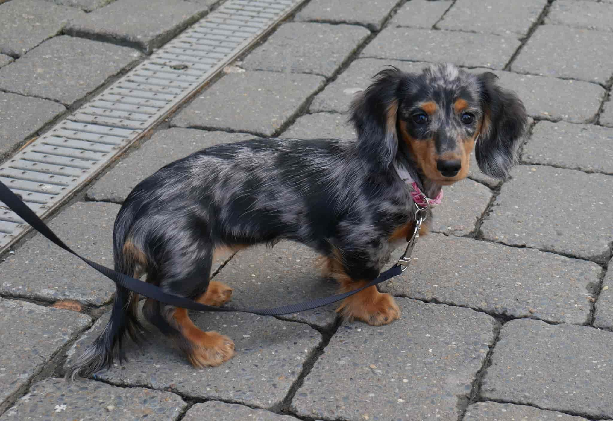 Dachshund Health Care Information