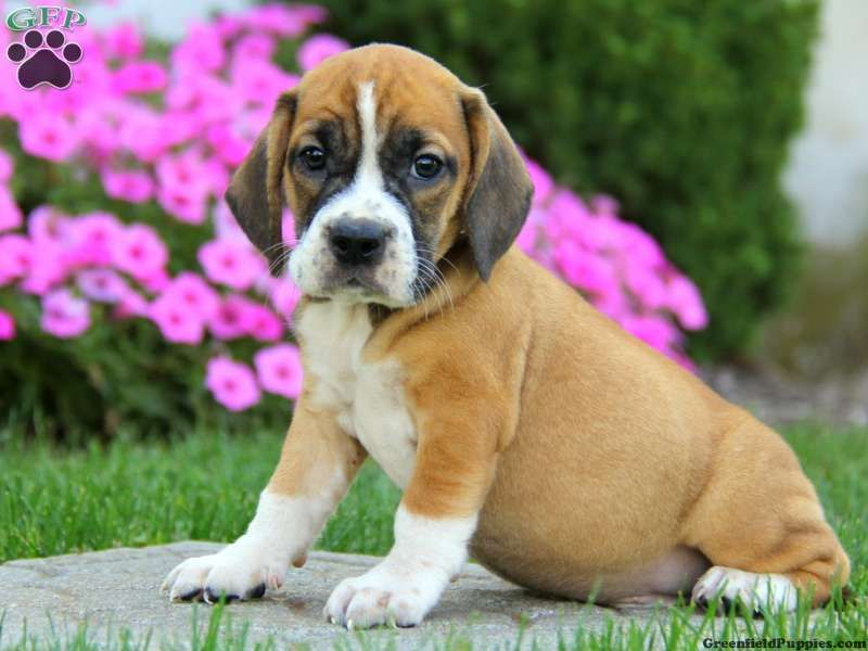 Beabull Puppies For Sale In Pa Puppies For Sale Puppies Puggle