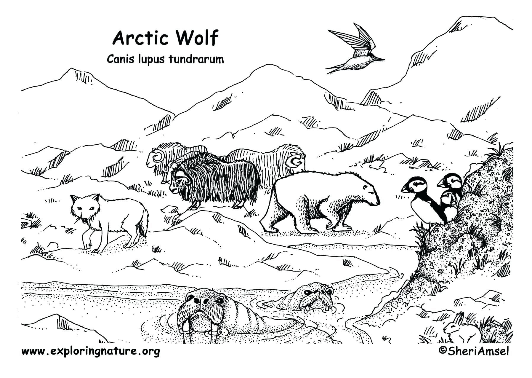 Arctic Habitat Coloring Pages Collection