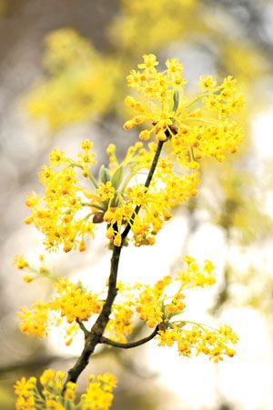 Tiny Yellow Flowers On Sassafras Trees Light Up Native Landscapes In