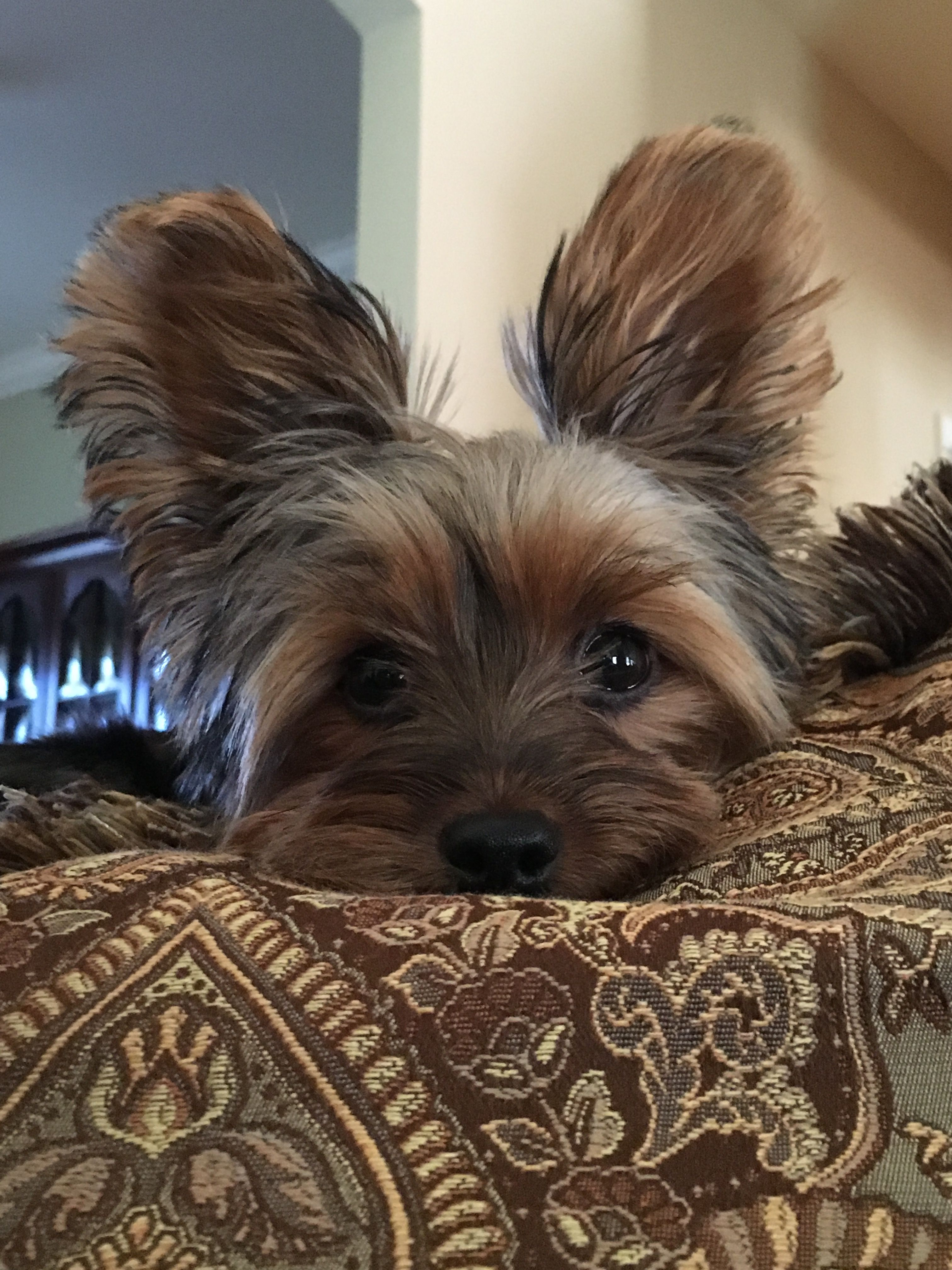 Pin By Ronda Gilger On Yorkie Boy Yorkie Dogs Yorkie Terrier