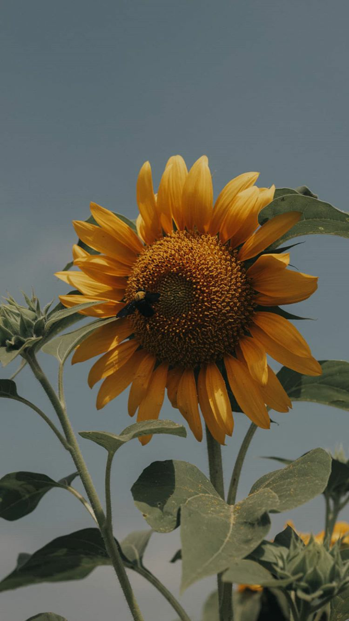 iPhone wallpapers #iphonephotography #photography #sunflower #wallpaper #aestheticphotography #aesthetic #vsco
