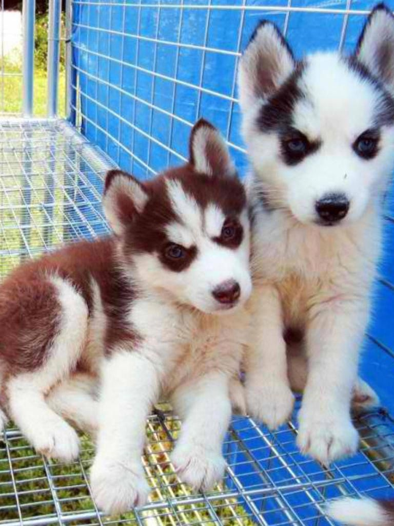 Siberiancatsforsale Siberian Cats For Sale Husky Puppy Puppies
