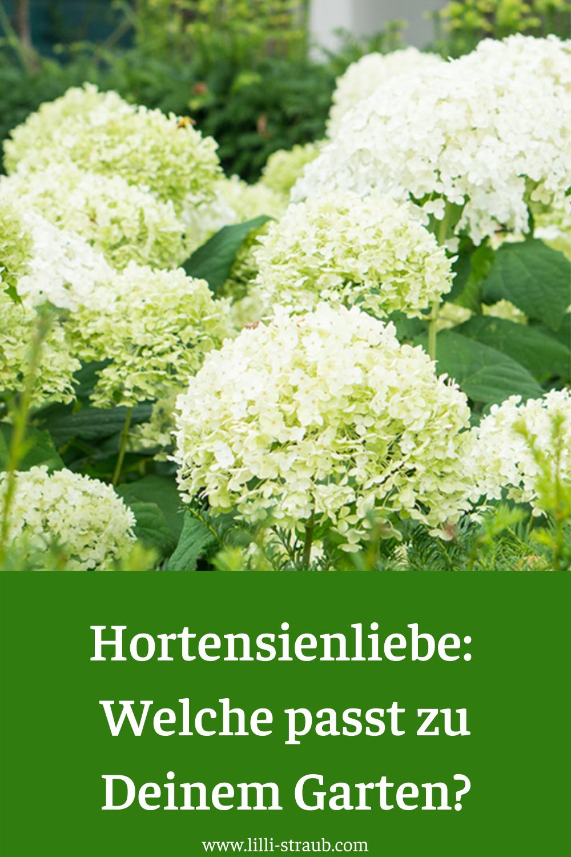 Der richtige Standort für Deine Hortensie und Tipps zum Düngen