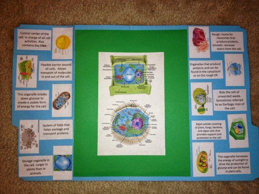 Making a Lapbook for Plant and Animal Cells | Science cells | Pinterest