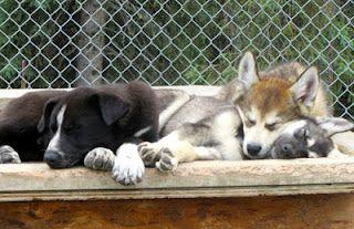 Alaskan Sled Dog Puppies - Denali Visitors Center, Alaska--- I saw those dogs!!!-- ciera