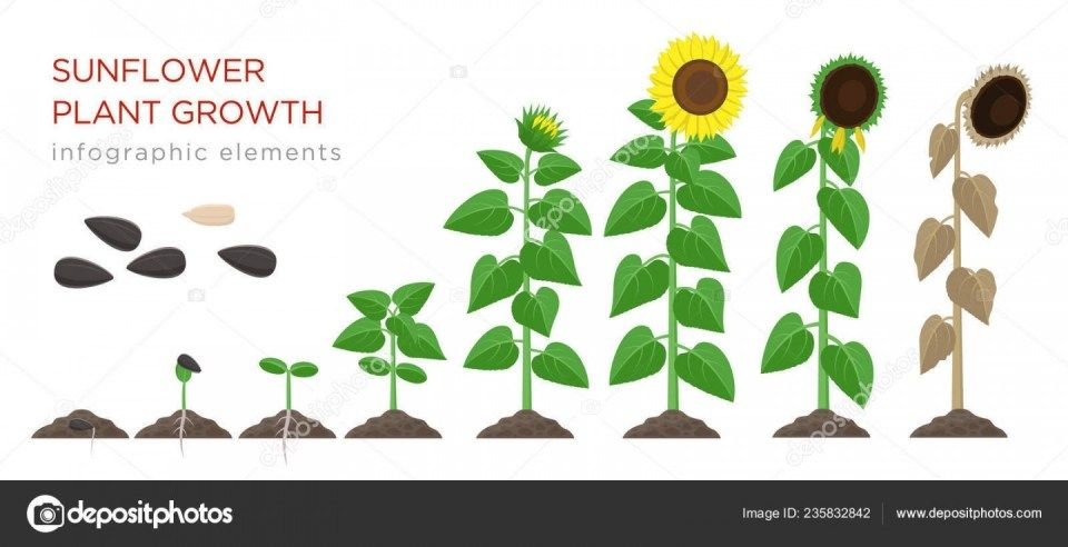 Seven Common Myths About Sunflower Growth Process Sunflower Growth Process Https Ift Tt 2zlxkol Flower Wallpaper Plant Growth Planting Sunflowers