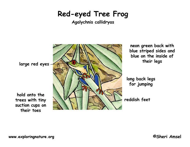 amphibian life cycle diagram labeled frog diagram. Black Bedroom Furniture Sets. Home Design Ideas