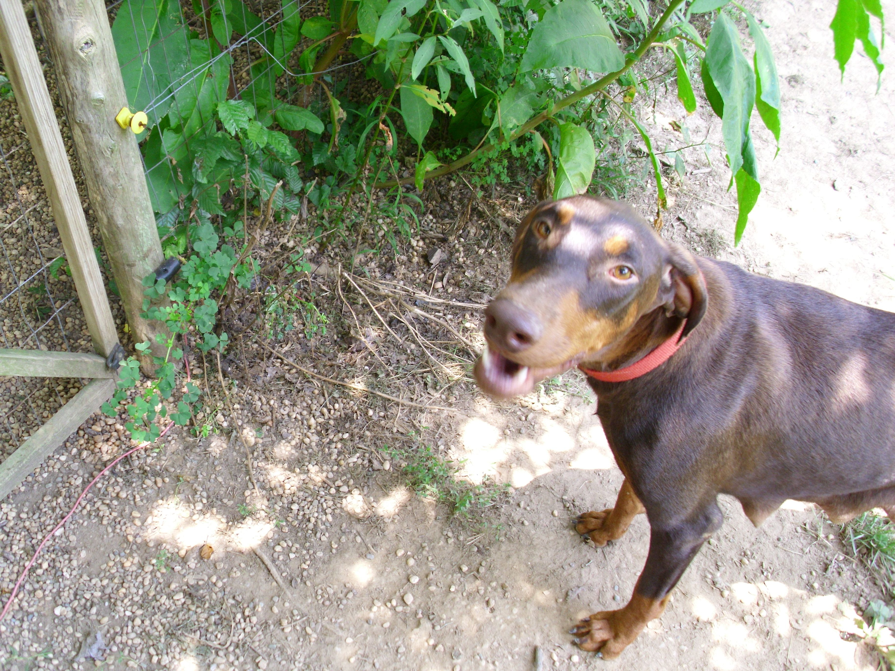 Meet Thetraveler With Images Doberman Animals Dogs