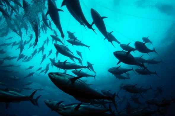 Atlantic Bluefin Tuna In A Cage In The Mediterranean Credits Marco Care Marine Photobank World Wildlife Fund Homosassa Atlantic Bluefin Tuna Wildlife Park