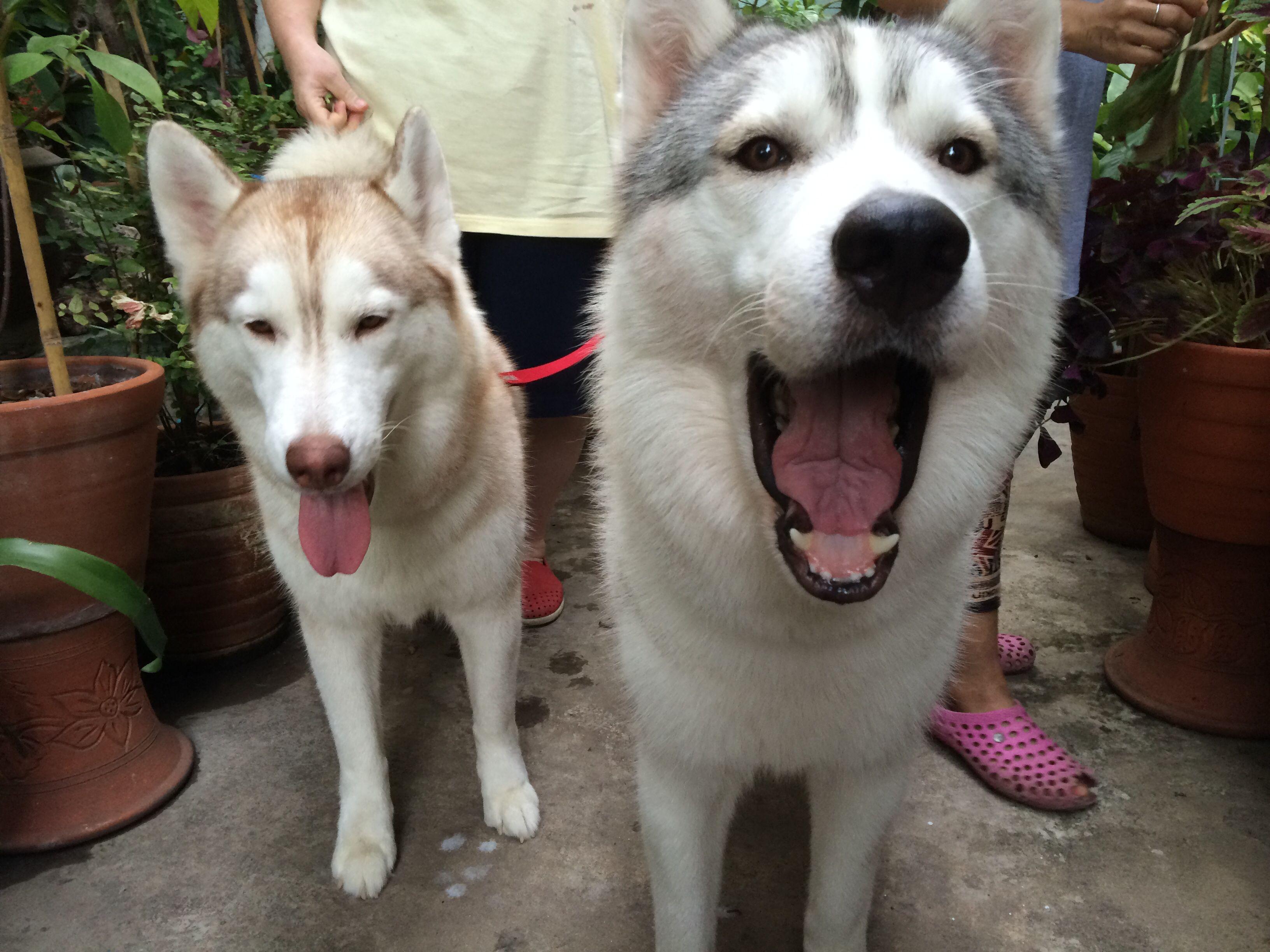 "Always be yourself"" - Bear the Alaskan Malamute #pacificbeachlocals ... | Siberian Husky Puppies Bakersfield Ca"