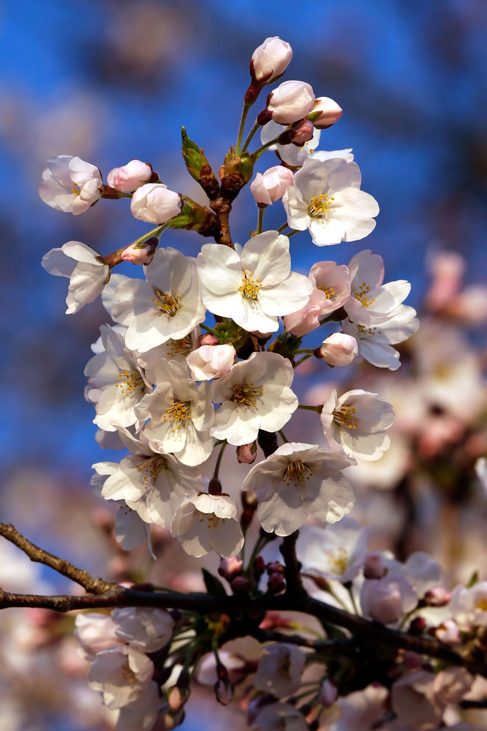 It S Officially Cherry Blossom Season In Washington D C Bloom Where Youre Planted Cherry Blossom Season Cherry Blossom Festival