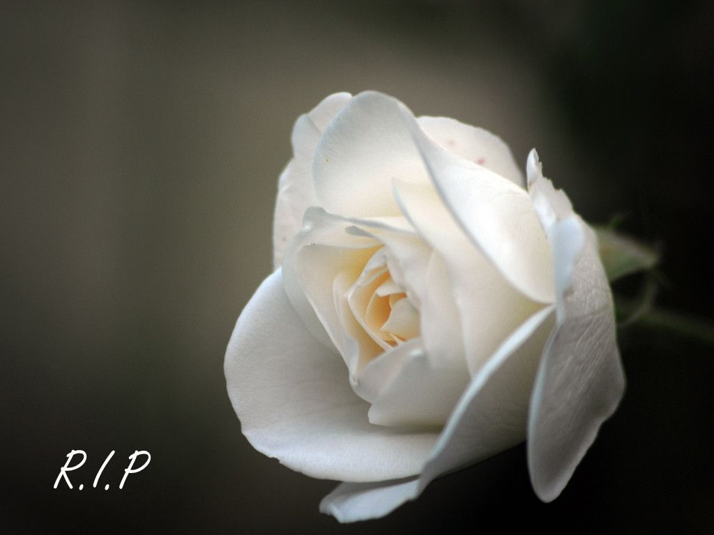 Bildergebnis für RIP my dear friend white rose of condolences