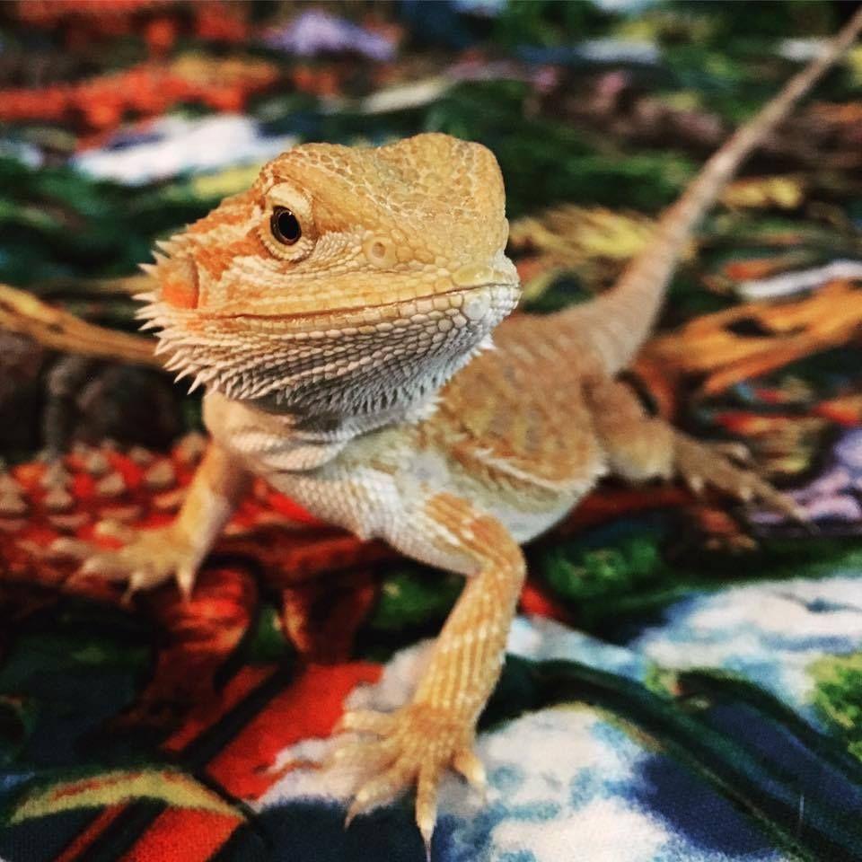 myianicolee Pet lizards, Reptiles pet, Bearded dragon care