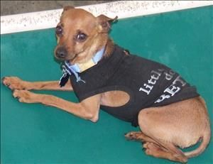Burton is a Chihuahua dog at Last Chance Ranch Animal Rescue in Quakertown, PA. 215-538-2510. Burton is a tiny little man at only 4 lbs and is 7 yrs old. He just had some bloodwork done and it seems he has a bit of a UTI and kidney infection we are currenlty treating, but hopefully all is well in a few weeks and he will be ready for that new family to love him forever. He was reportedly house broken when his family gave him up because they didn't have time for him after the birth of a new…
