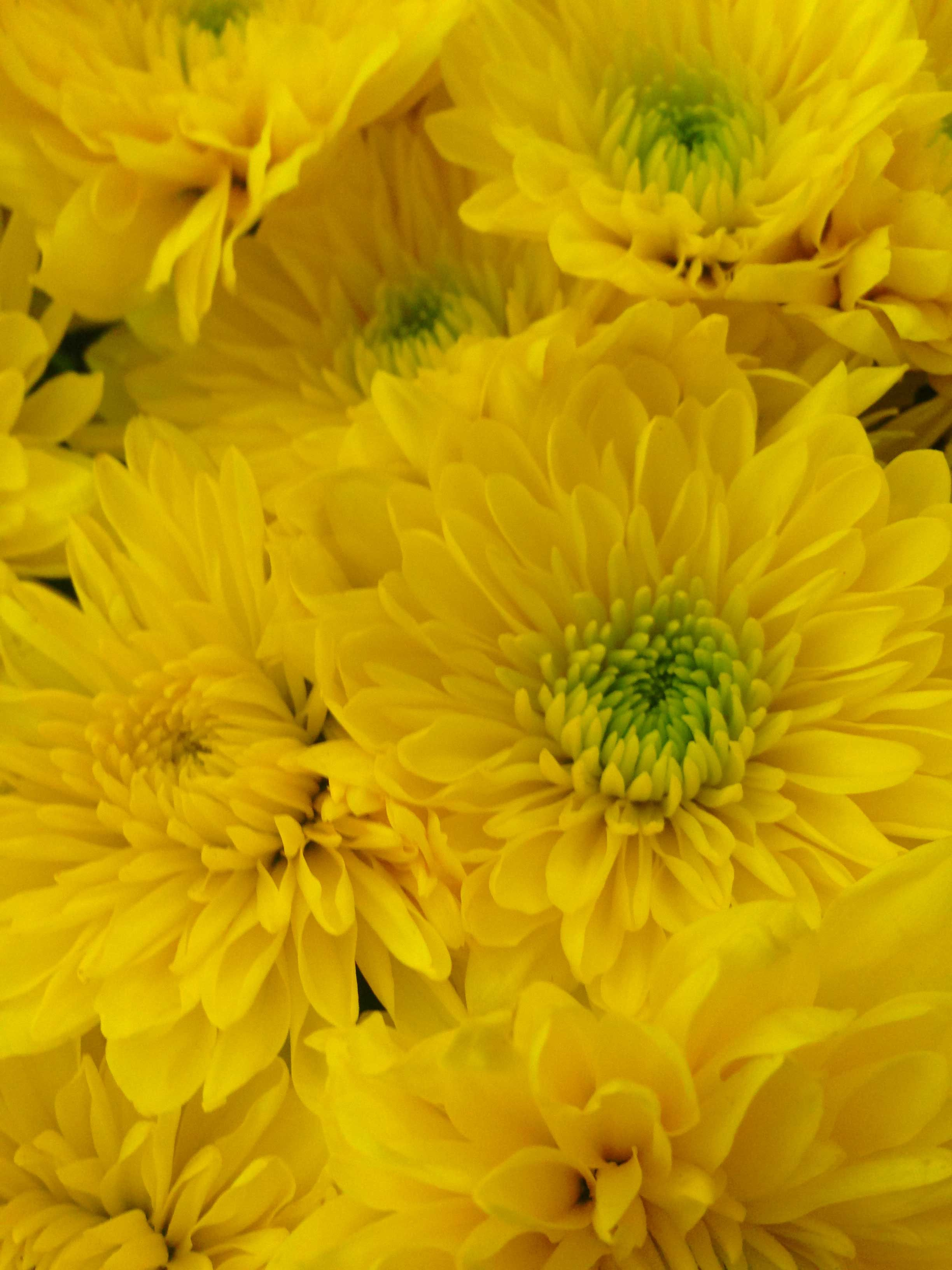 Chrysanthemum Chrysanthemum, Plants, Floral photography