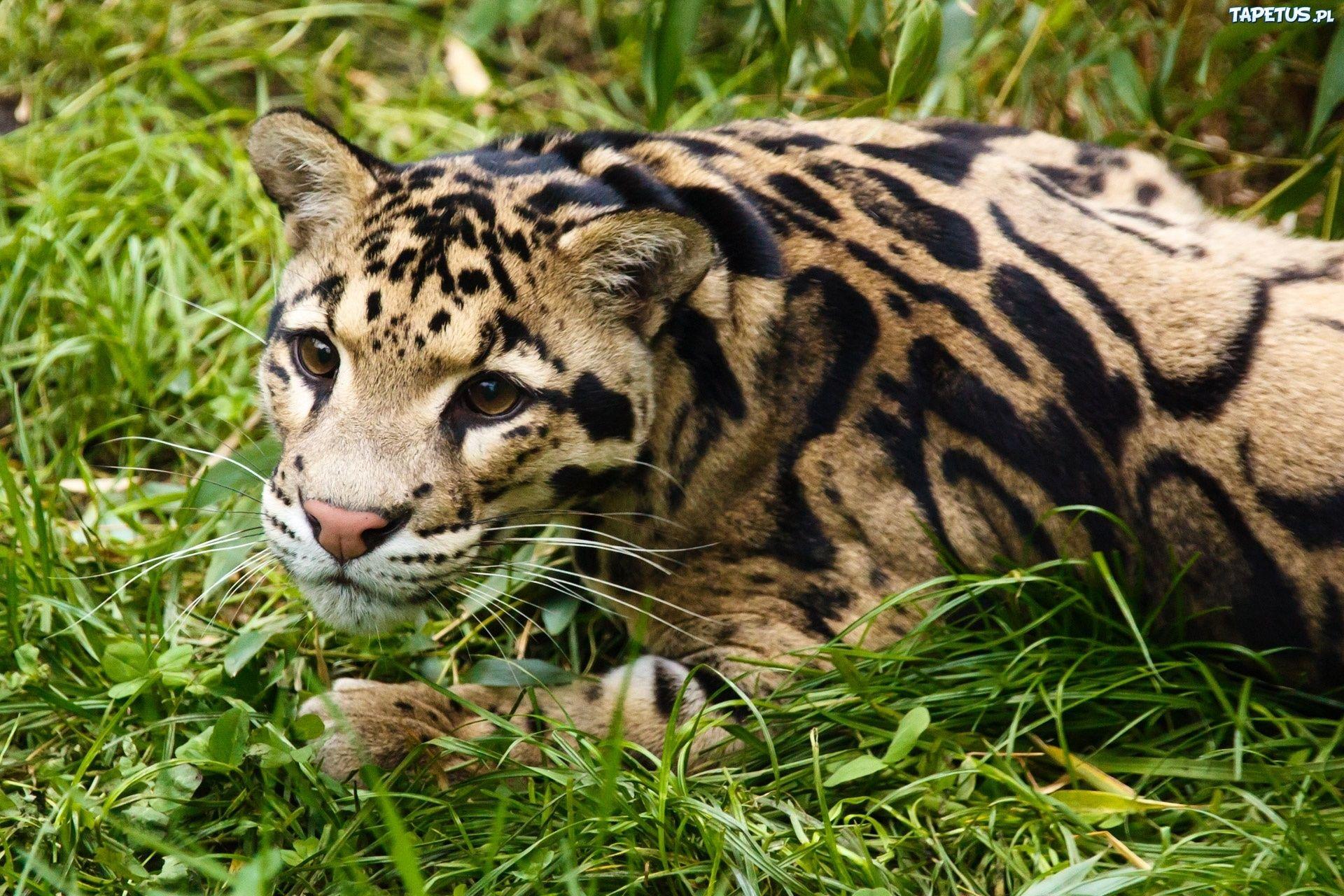 Ocelot słaba ekstra średnia 5 00 głosow 1 Leopard