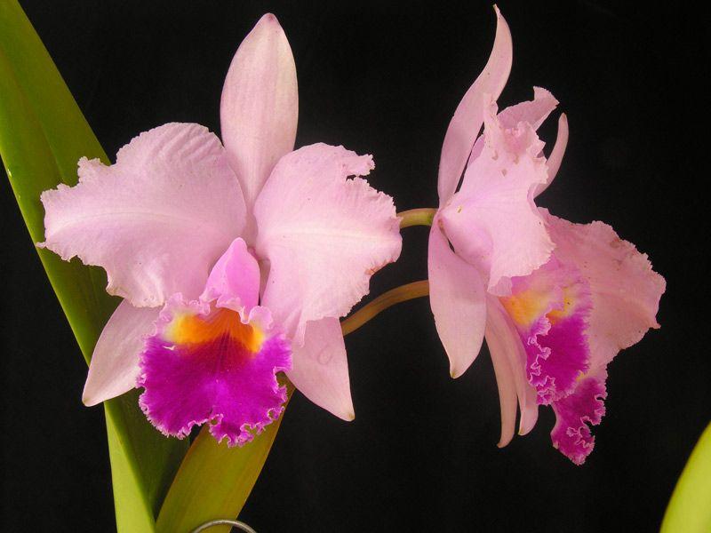 Cattleya Trianae Tipo 61 Orchids Cattleya Orchid