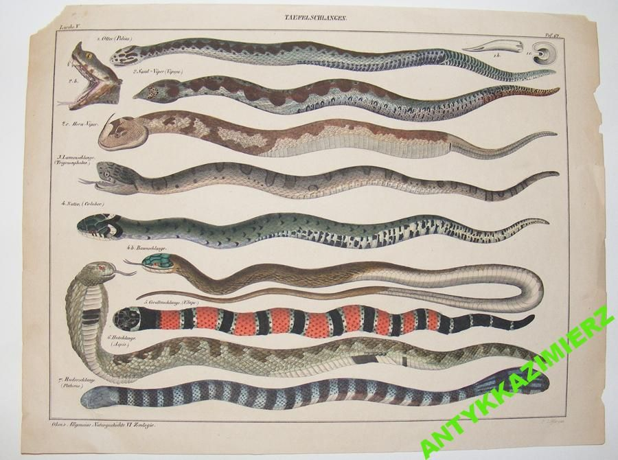 Weze Waz Gady Kobra Zmija 5406216990 Oficjalne Archiwum Allegro Natural History Botanical Drawings Animal Art
