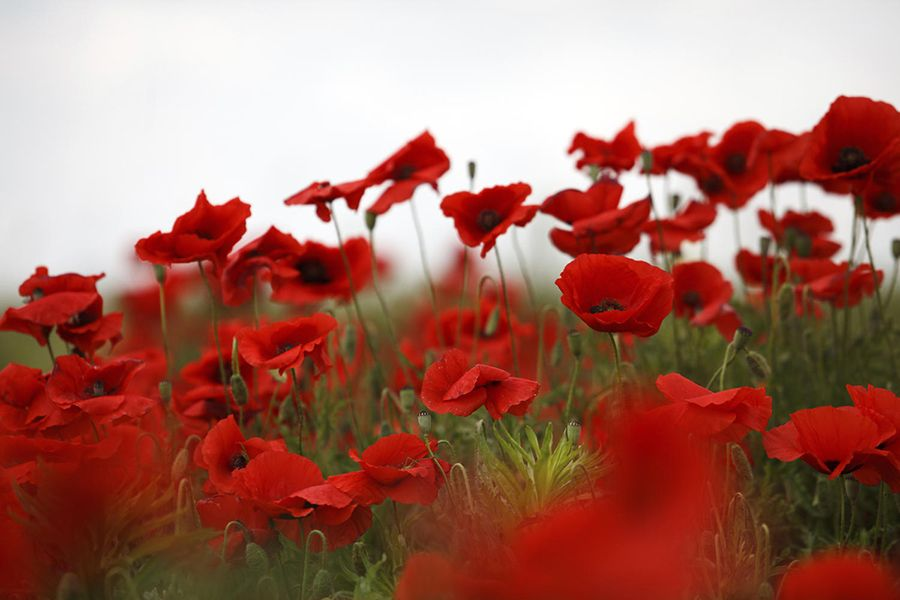 Remembrance day 5 facts about the poppy mightylinksfo