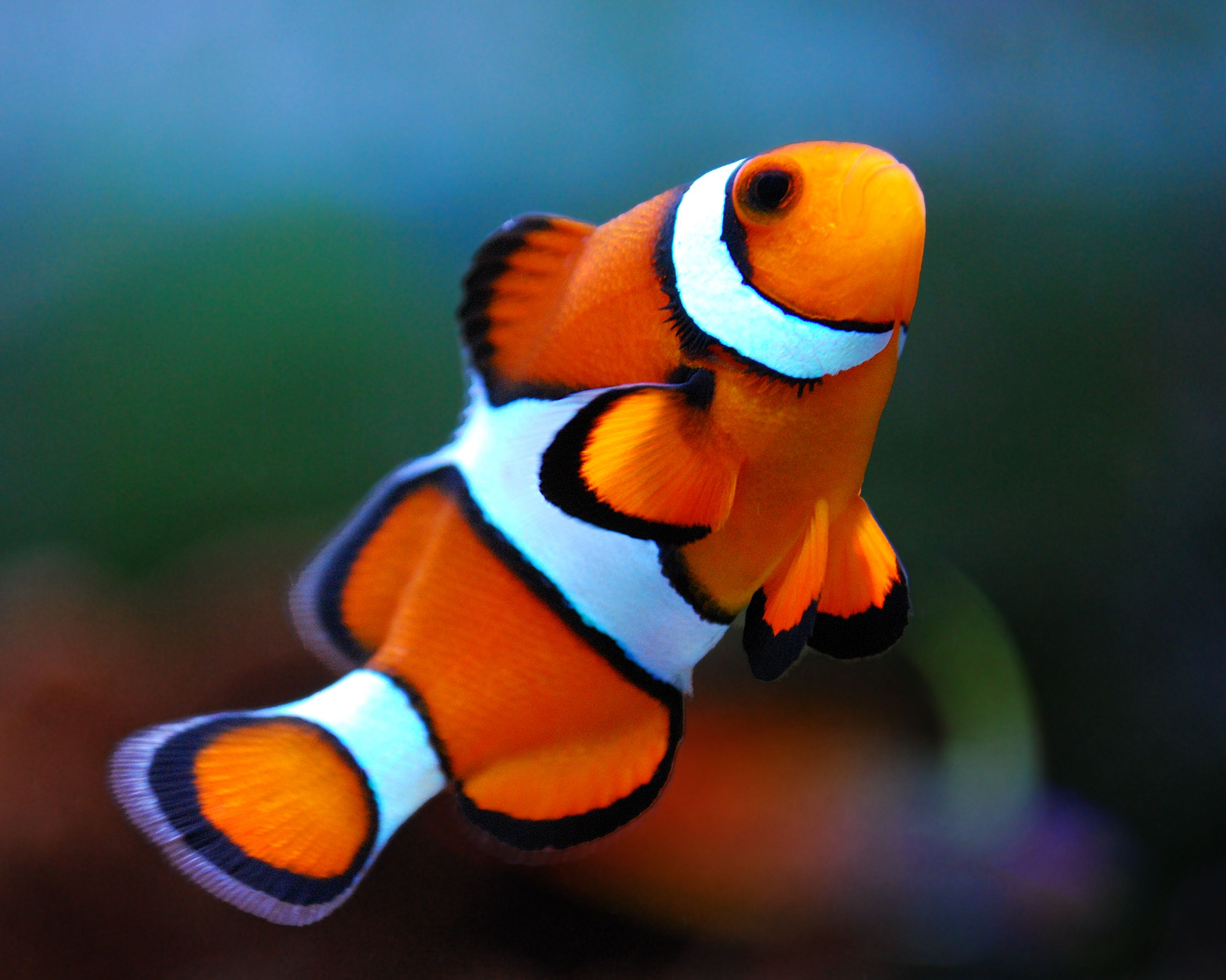 Clownfish [OC] [2908x2326] (With images) | Clown fish