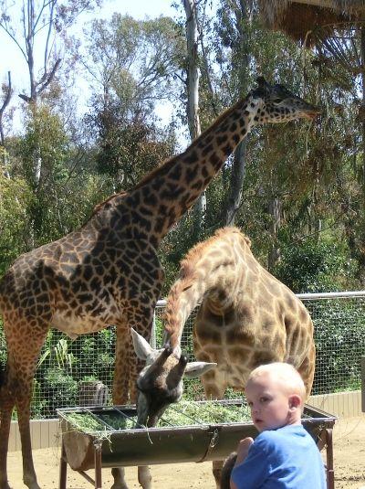 Giraffes @San Diego Zoo
