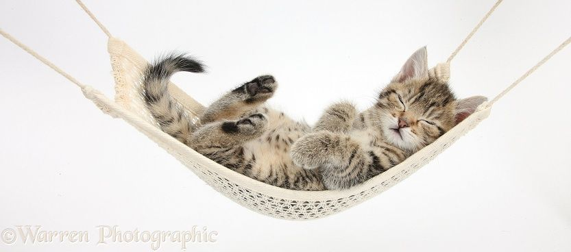 Cute Tabby Kitten Stanley 7 Weeks Old Sleeping In A Hammock