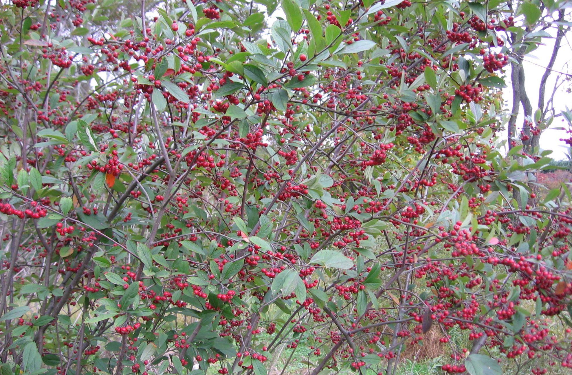 Albero Con Bacche Rosse aronia arbutifolia 'brilliantissima' arbusto rustico, con