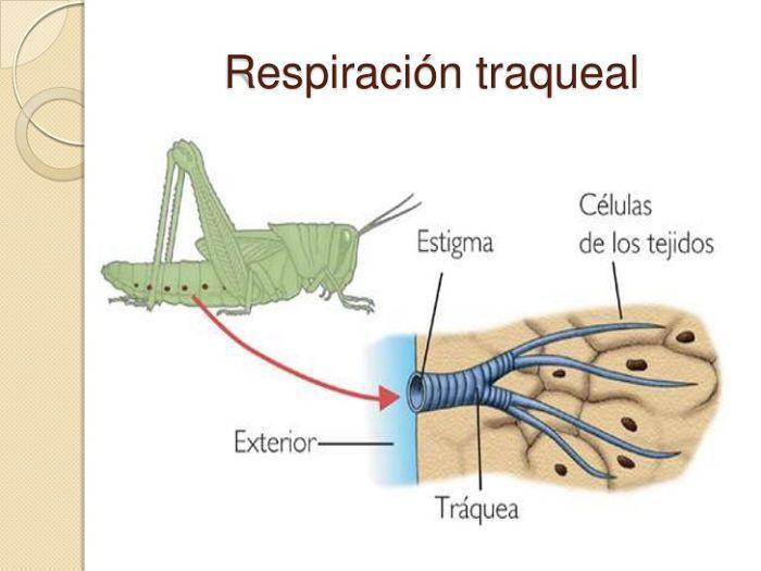 Resultado De Imagen Para Tipos De Respiracion De Los Animales Y