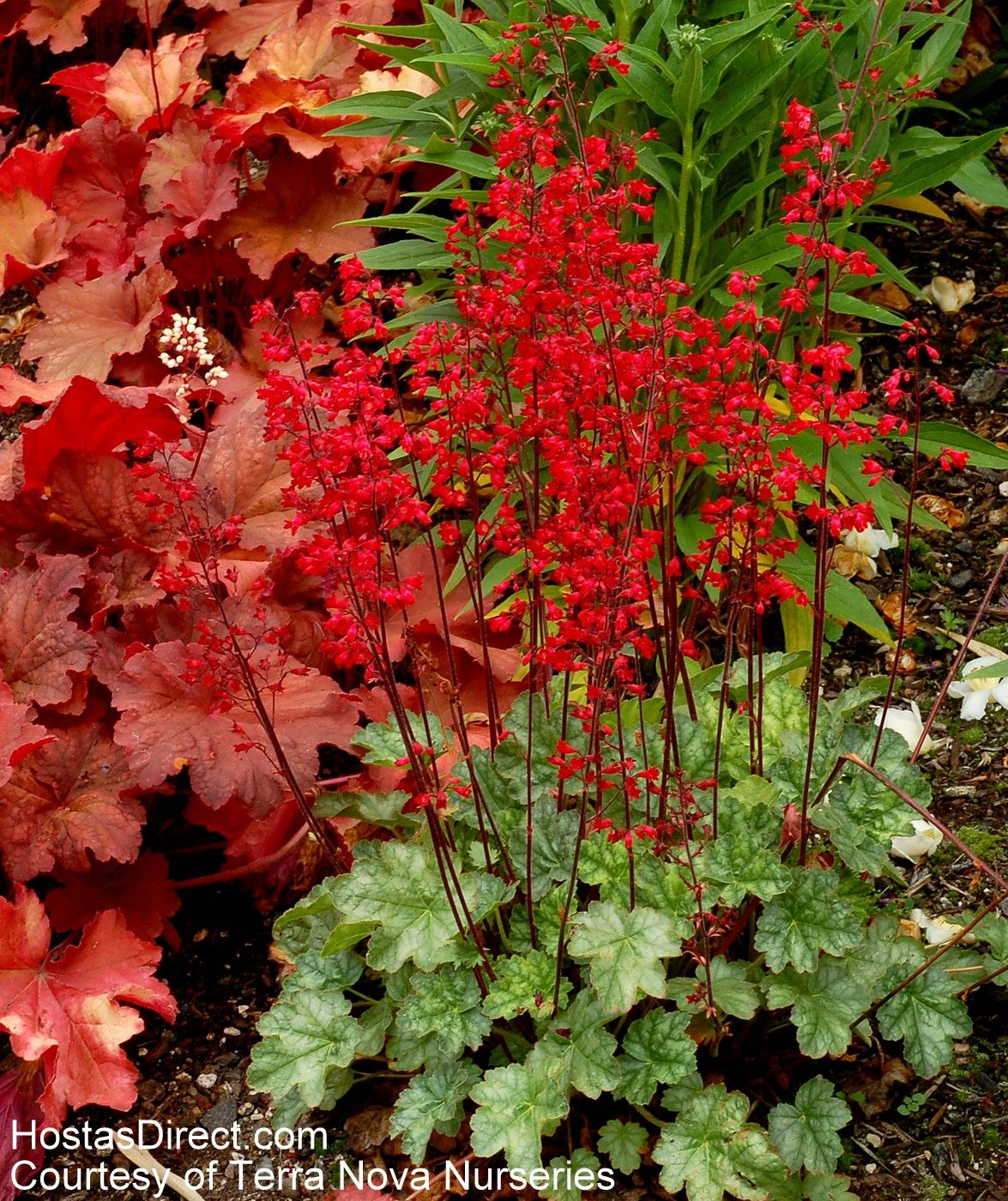 heuchera 39 lipstick 39 heuchera coral bells heucherella tirella pinterest heuchera. Black Bedroom Furniture Sets. Home Design Ideas