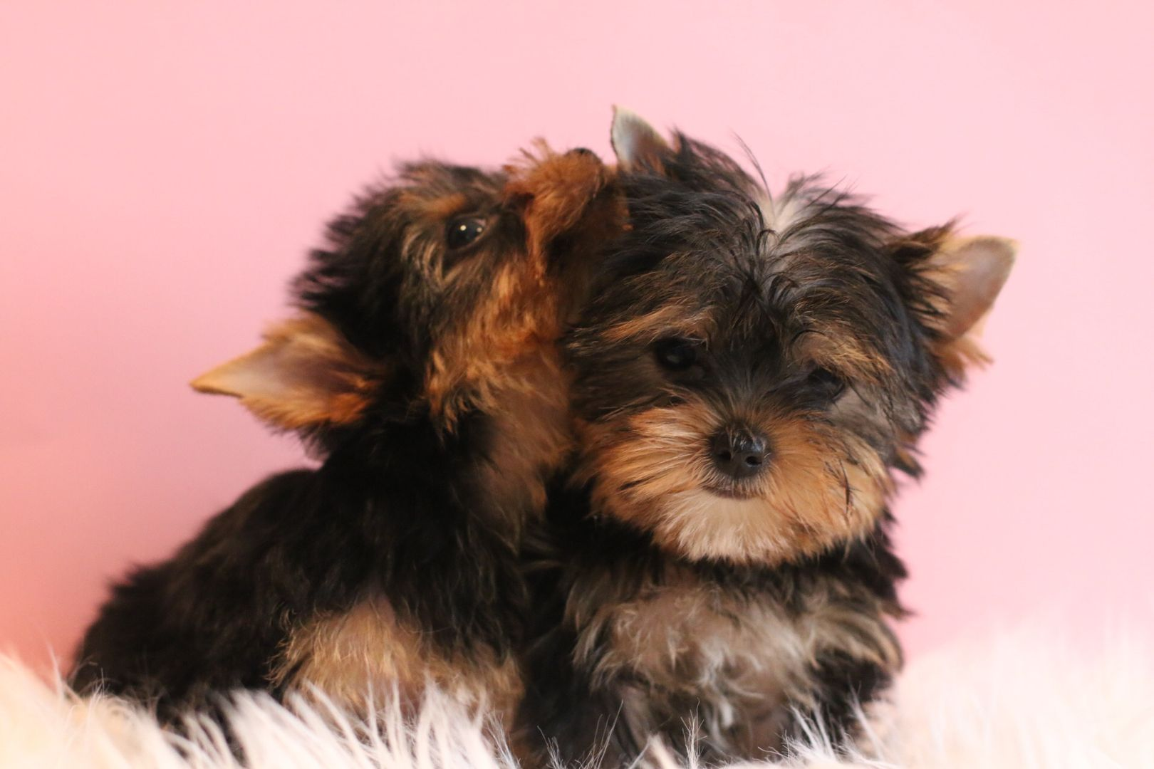 Learn More About Our Available Certified Yorkie Puppies In San Francisco Teacup Yorkie Puppies Teacup Chocolate Parti Yorkie Puppy Teacup Yorkie Puppy Yorkie