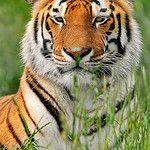 Tiger: The Grandeur Of The Jungle