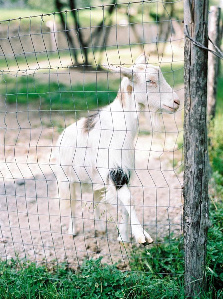 Monalisa the goat at Montestigliano Copyright | Caught the Light ...