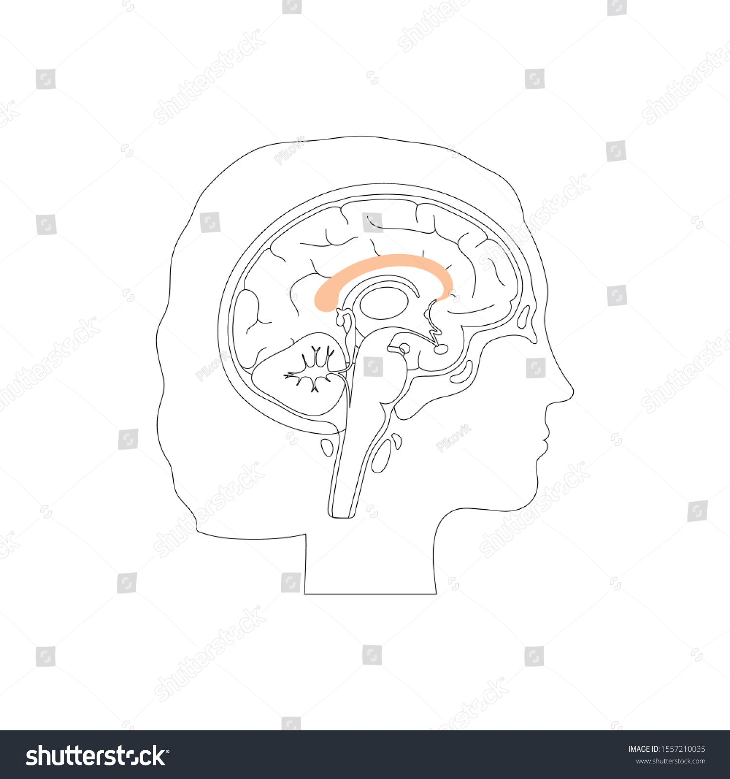 Vector Isolated Illustration Of Corpus Callosum C Part Of
