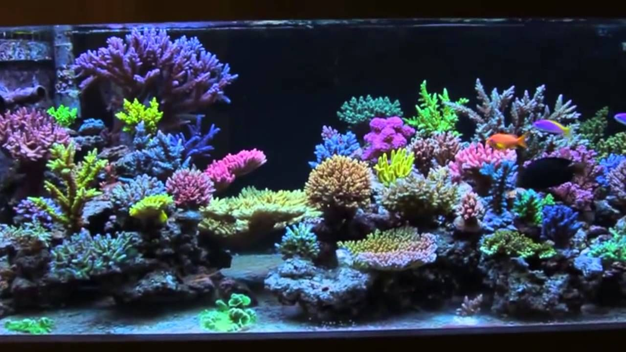 Love coral power to the pigskin pinterest aquariums for Reef aquarium fish