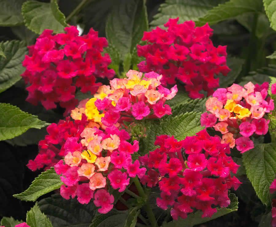 Lantana Camara Bandana Lantana Mahoney S Garden Centers Beautiful Flowers Garden Container Gardening Flowers Lantana