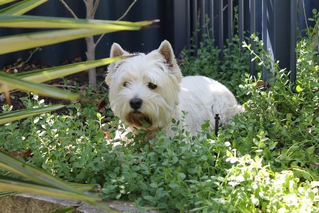 Pet And House Sitter For Two Westies House Sitter Needed Iluka