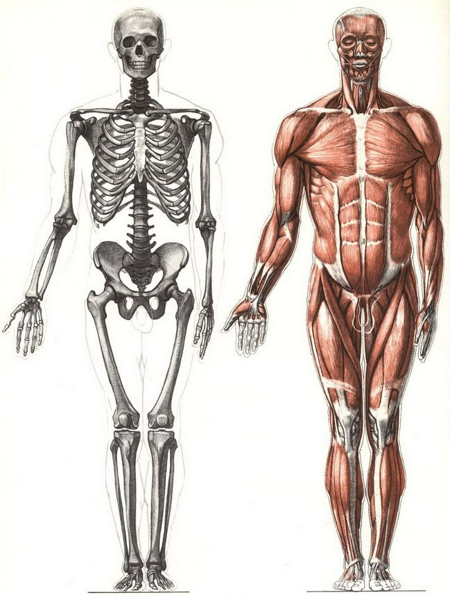 Studying Human Anatomy Front View Drawing References Pinterest
