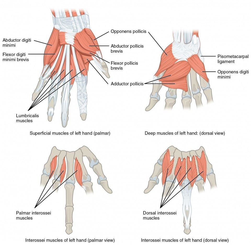 This Multipart Figure Shows The Intrinsic Muscles Of The Hand With The Major Muscle Groups Labeled Upper Limb Anatomy Anatomy And Physiology Hand Therapy